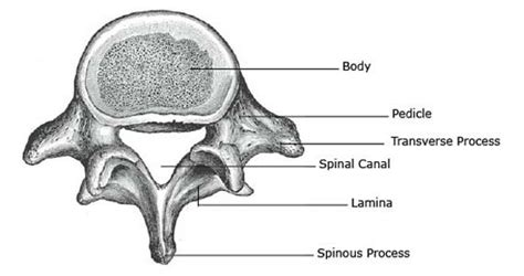 Cervical Vertebrae Diagram Labeled by Lumbar Spine Lower Back Anatomy Function Problems