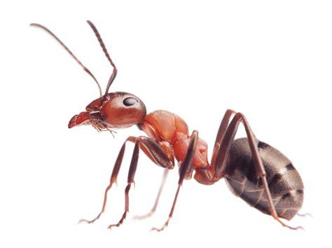 ant identification guide   identify ants domyowncom