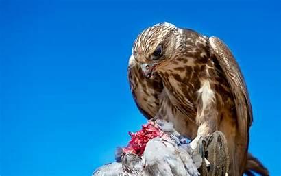 Hawk Wallpapers Theme Bird Prey Animal Birds