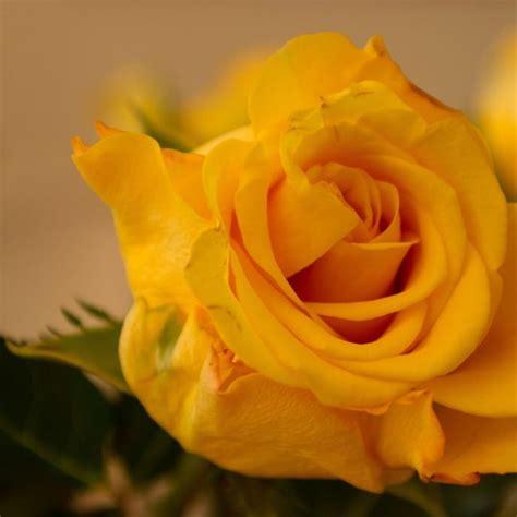 sor ord sfra hlo yellow  rose wallpaper sor ord