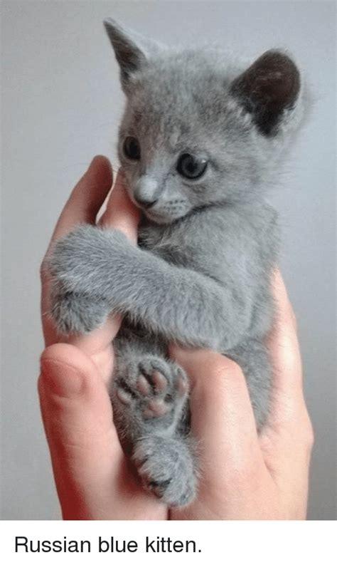 Russian Cat Meme - 25 best memes about russian blue kittens russian blue kittens memes