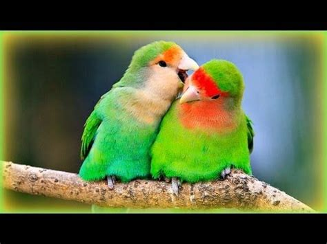 lovebirds sounds  hour youtube