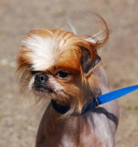 Japanese Chin Chinese Crested Mix I Didnt Take This
