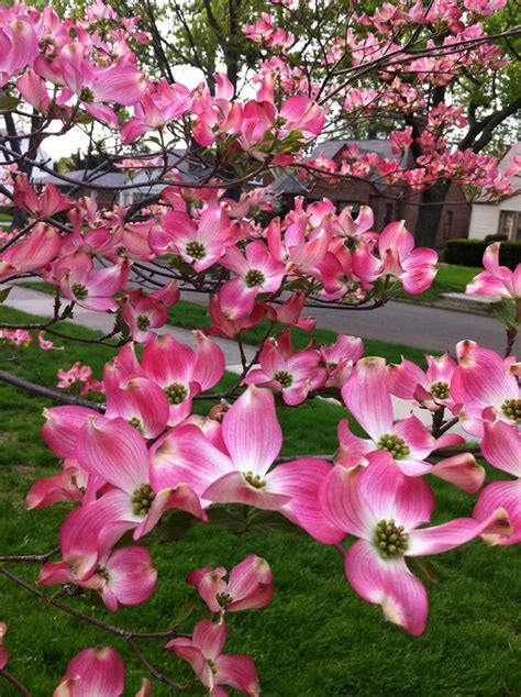 pink dogwood tree care 25 b 228 sta dogwood trees id 233 erna p 229 pinterest