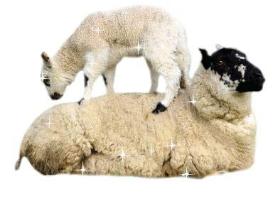 imagenes de ovejas en movimiento gifs imagenes