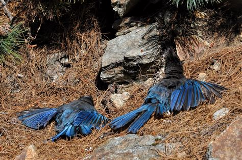 quot anting quot blue jays taking a bath or preparing dinner