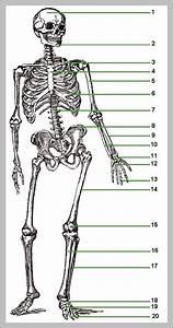 31 Unlabeled Skeletal Diagram
