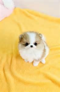 Cute Baby Teacup Pomeranian Puppies