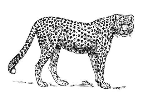 Cheetah Kleurplaat by Kleurplaat Jachtluipaard Cheetah Afb 15727
