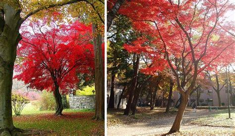 alberi per giardino acero giapponese uno splendido albero per il tuo giardino