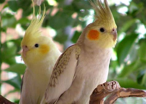 les cockatiels