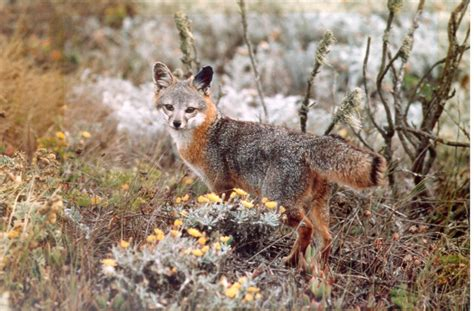 fastest mammal recovery    channel island foxes