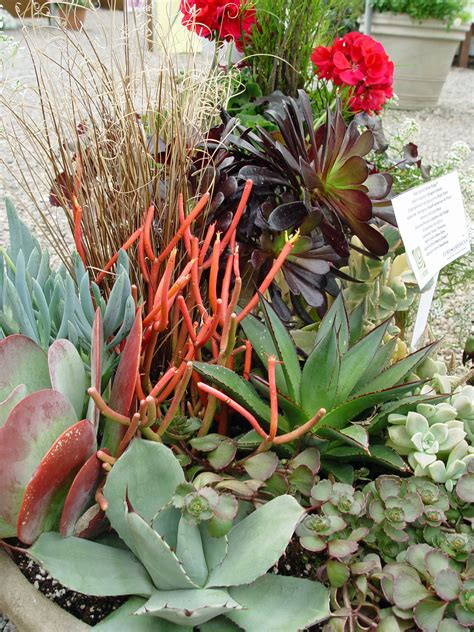 cascading succulent plants black gold late season succulents indoors or out