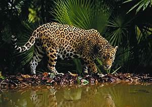 Jaguars of Costa Rica Manuel Antonio Costa Rica