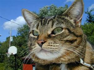 ojos verdes gato animales Quotes