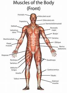 1000  Images About Muscular System On Pinterest