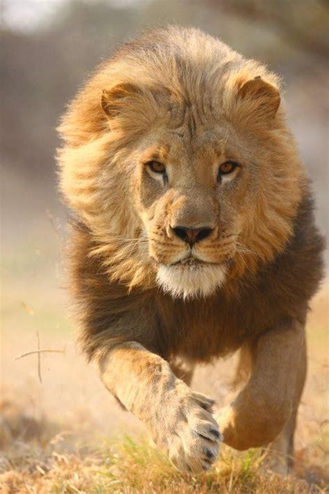 lion lion safari partners flickr