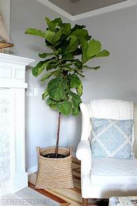 fiddle leaf fig tree Interiors & Exteriors: Fiddle Leaf Fig - The Brunette One