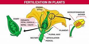 Fertilization of Plants, Process of fertilization in ...