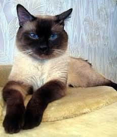 thai cat i these traditional siamese cats sometimes called