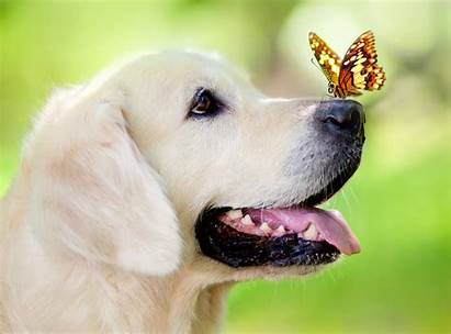 Spring Dog Puppy Retriever Summer Golden Labrador