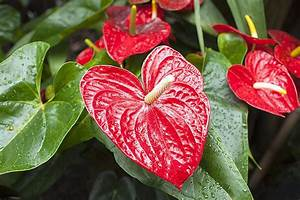 How, To, Successfully, Grow, Anthurium, Plants
