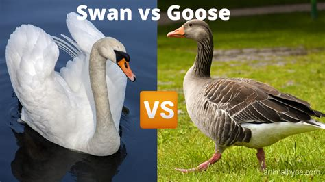 The 'wildfowl' are medium to large birds with rather long or very long necks, mostly short, broad bills, short legs and the front three. Swan vs Goose - What is the difference? - Animal Hype