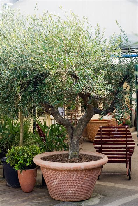 mettre un olivier en pot 28 images la culture de l