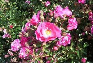 Wann Wird Lavendel Geschnitten : schnitt von beet und edelrosen fter bl hende ~ Lizthompson.info Haus und Dekorationen