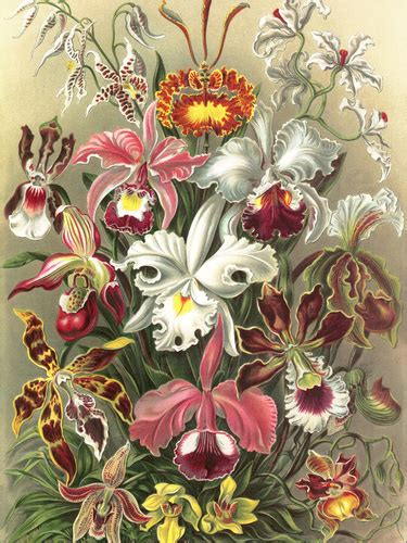 ernst haeckel orchidae poster posterlounge