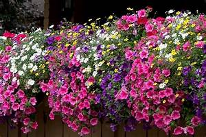 Surfinije vrtlarija terra mojkvarthr for Markise balkon mit tapete pink blumen