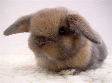floppy ear bunny the fluffiest of all floppy eared bunnies