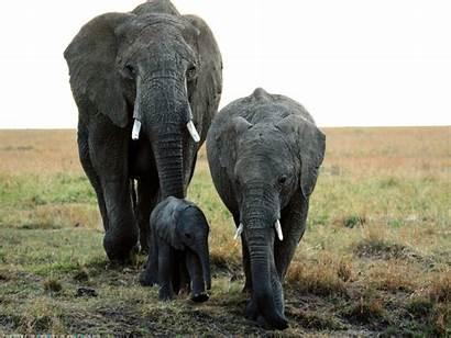 Wild Animals Elephant Desktop Wallpapers Elephants Animal