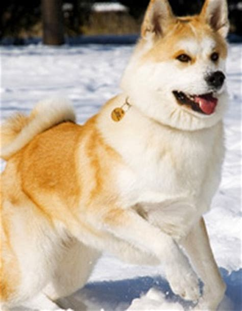 What Months Do Akitas Shed by Japanese Akita Puppy Akita Inu Breed