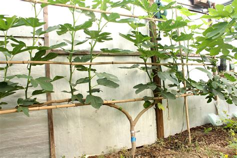 espalier fig trees for sale figs up north
