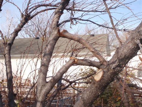 pruning apple trees in autumn pruning somewhat neglected dormant fruit tree in late fall