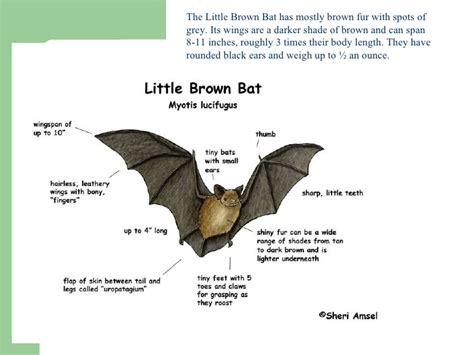 miranda cbell pd 4 little brown bat