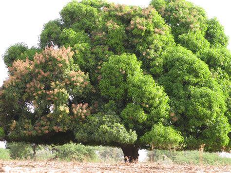 cuisine chimique madeintogo manguier
