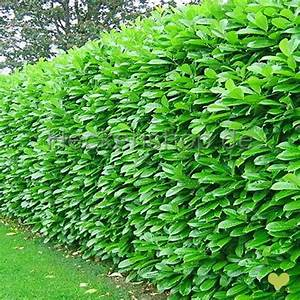 Kirschlorbeer Ohne Beeren : kirschlorbeer 39 rotundifolia 39 100 125cm getopft ~ Yasmunasinghe.com Haus und Dekorationen