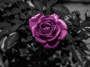 Schwarz Weiß Bilder Mit Farbe Städte : schwarz wei aufnahme mit lila blume foto bild pflanzen pilze flechten bl ten ~ Orissabook.com Haus und Dekorationen