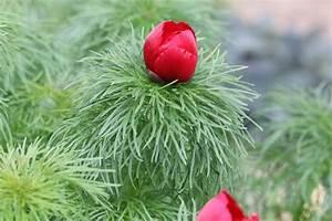 Pflege Von Pfingstrosen : netzblatt pfingstrose paeonia tenuifolia pflege anleitung ~ A.2002-acura-tl-radio.info Haus und Dekorationen
