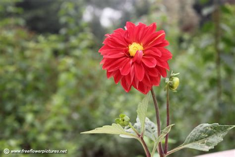 picture flower dahlia picture flower pictures 3776