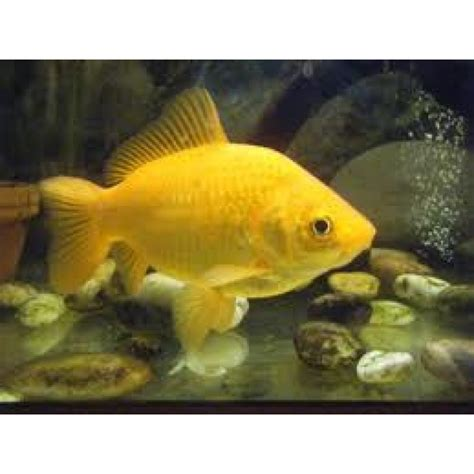yellow goldfish amazing amazon