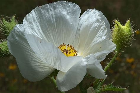 White Poppy by White Poppy Search In Pictures