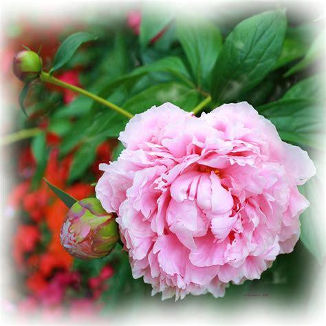 Pink Peppermint Peonie Photograph By Liz Evensen