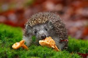 Fressen Igel Mäuse : igel im winterschlaf so helft ihr igeln beim berwintern giga ~ Orissabook.com Haus und Dekorationen