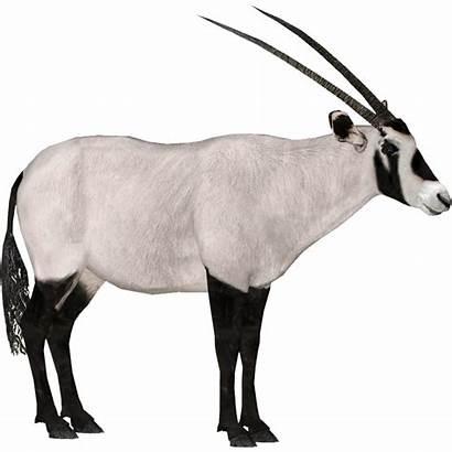 Oryx Arabian Dragon Zt2