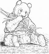 Panda Coloring Pages Bamboo Animals Eating Wildlife Bear Eat sketch template
