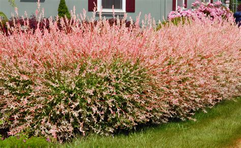 salix hakuro nishiki dappled willow salix hakuro nishiki pink variegated leaves 4 quot live tree ebay