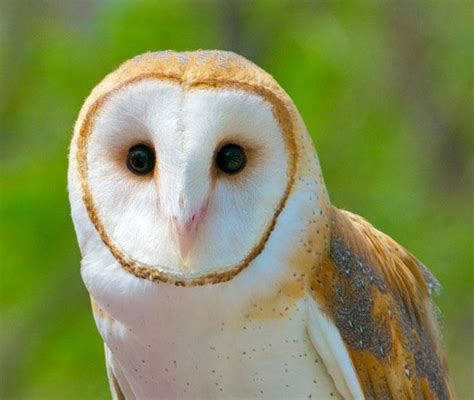 barn owl call learn to identify five owls by their calls audubon